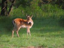 Cervos de Fallow novos Fotos de Stock