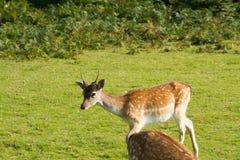 Cervos de Fallow novos Foto de Stock Royalty Free
