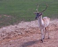 Cervos de Fallow novos Imagem de Stock