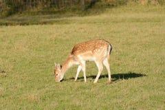 Cervos de Fallow que pastam Foto de Stock