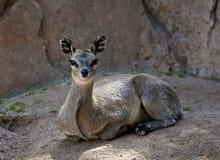 Cervos de Kopje que olham a câmera imagens de stock royalty free