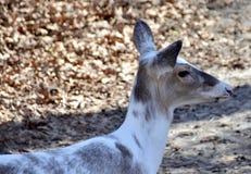 Cervos de Leucistic Foto de Stock