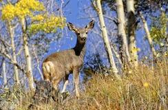 Cervos de mula Fotografia de Stock