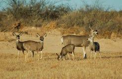 Cervos de mula Imagem de Stock