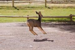 Cervos de mula Imagem de Stock Royalty Free