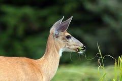 Cervos de mula foto de stock royalty free
