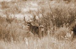 Cervos de mula Fotografia de Stock Royalty Free