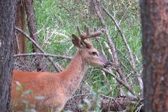 Cervos de mula Imagens de Stock Royalty Free