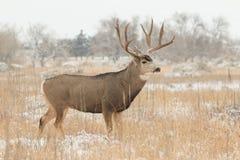 Cervos de mula Buck Standing na neve Fotografia de Stock Royalty Free
