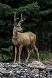 Cervos de mula com chifres de feltro imagem de stock
