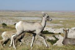 Cervos de mula do bebê no ermo Fotografia de Stock