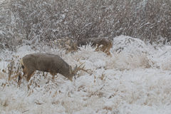 Cervos de mula e fanfarrões do Whitetail na neve Foto de Stock Royalty Free