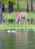 Cervos de mula e patos selvagens Foto de Stock Royalty Free