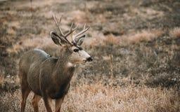 Cervos de mula em um campo fotos de stock royalty free