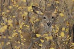 Cervos de mula escondidos foto de stock royalty free