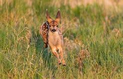 Cervos de mula Fawn Prancing em um prado foto de stock royalty free