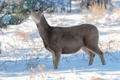 Cervos de mula na pradaria de Colorado Imagem de Stock Royalty Free