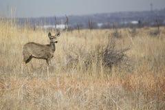 Cervos de mula nas planícies Fotos de Stock