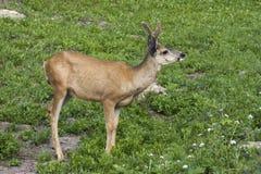 Cervos de mula no prado Imagem de Stock Royalty Free