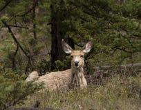 Cervos de mula que descansam em um esclarecimento Fotos de Stock