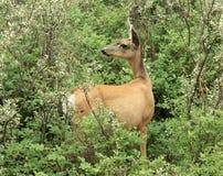 Cervos de mula que olham atrás Foto de Stock