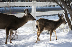 Cervos de mula que pastam imagem de stock