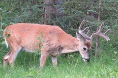 Cervos de mula selvagens Imagem de Stock Royalty Free