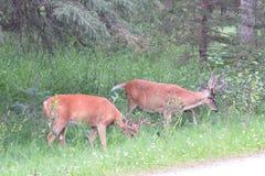 Cervos de mula selvagens Imagem de Stock