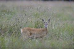 Cervos de ovas Imagens de Stock Royalty Free