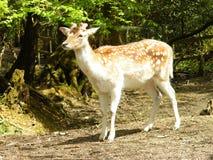 Cervos de ovas Foto de Stock Royalty Free