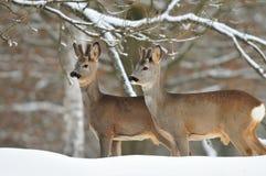 Cervos de ovas fotos de stock royalty free