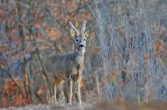 Cervos de ovas fotografia de stock royalty free