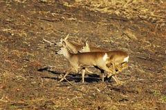 Cervos de ovas assustado que correm no terreno agrícola imagem de stock