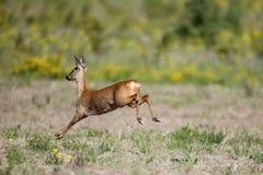 Cervos de ovas, capreolus do Capreolus Fotos de Stock Royalty Free