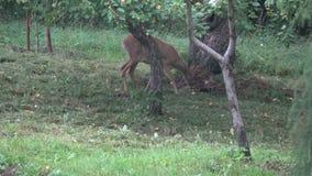 Cervos de ovas do animal selvagem que comem maçãs frescas no jardim da exploração agrícola video estoque