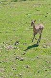 Cervos de ovas fêmeas foto de stock royalty free