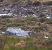 Cervos de ovas fêmeas Fotos de Stock