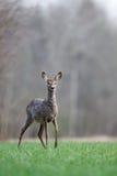 Cervos de ovas fêmeas Fotos de Stock Royalty Free