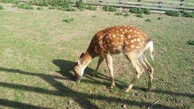 Cervos de ovas manchados bonitos, Ucrânia foto de stock royalty free