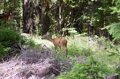 Cervos de ovas na floresta Imagem de Stock Royalty Free