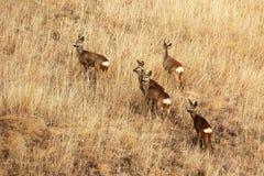 Cervos de ovas na grama desvanecida imagem de stock royalty free