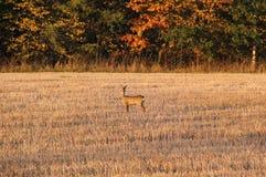 Cervos de ovas no campo fotografia de stock royalty free
