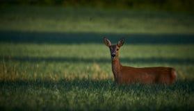 Cervos de ovas no campo/prado Animais selvagens, animal selvagem Foto de Stock Royalty Free
