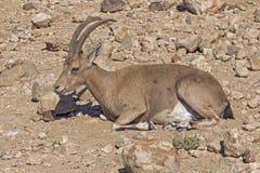 Cervos de ovas no deserto árido Imagem de Stock Royalty Free