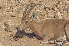 Cervos de ovas no deserto árido Fotos de Stock Royalty Free
