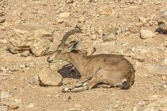 Cervos de ovas no deserto árido Fotografia de Stock Royalty Free