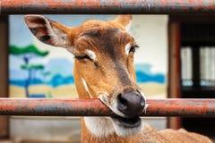 Cervos de ovas no jardim zoológico Fotos de Stock Royalty Free