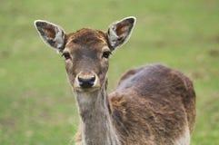 Cervos de ovas no outono Imagens de Stock