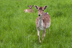 Cervos de ovas novos no prado Imagens de Stock
