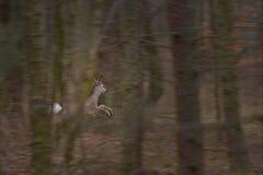 Cervos de ovas que correm na floresta Foto de Stock